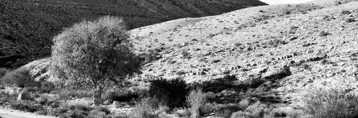 אלה אטלנטית באזור נחל אילות ובורות לוץ. צלם: עזרי קידר
